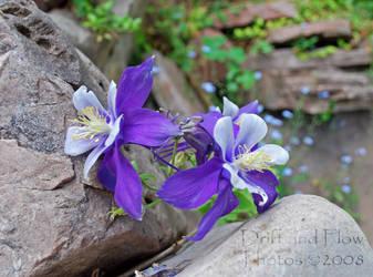Montana Iris by driftandflow