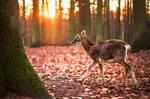 little mouflon