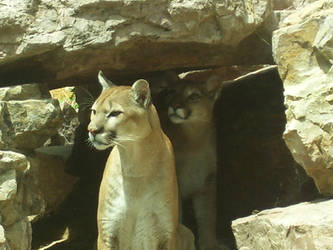 Mountain Lions by King-Tacomun