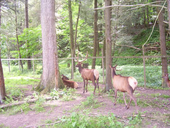 Elk by King-Tacomun