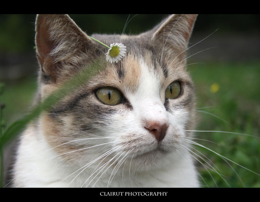 Cat's flower by ClairutPhotography