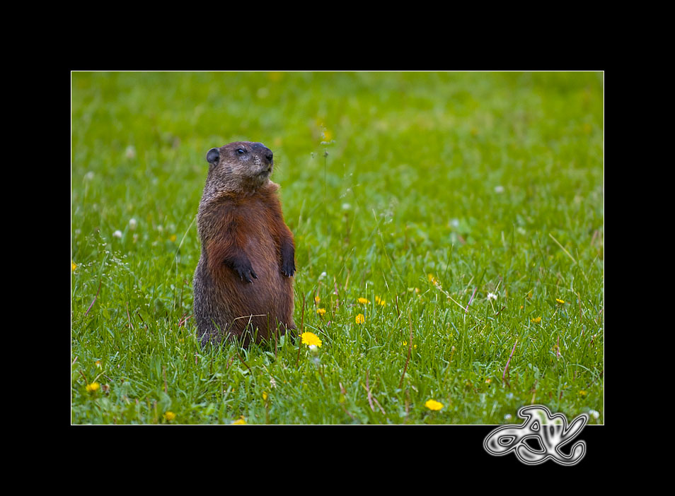 Woodchuck : At Attention