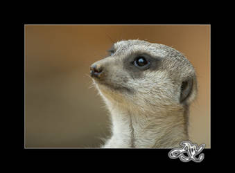 At the Zoo : Meerkat Daydream by minainerz