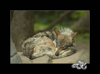 At the Zoo : Sleeping Wolf by minainerz