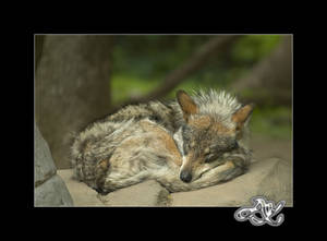 At the Zoo : Sleeping Wolf