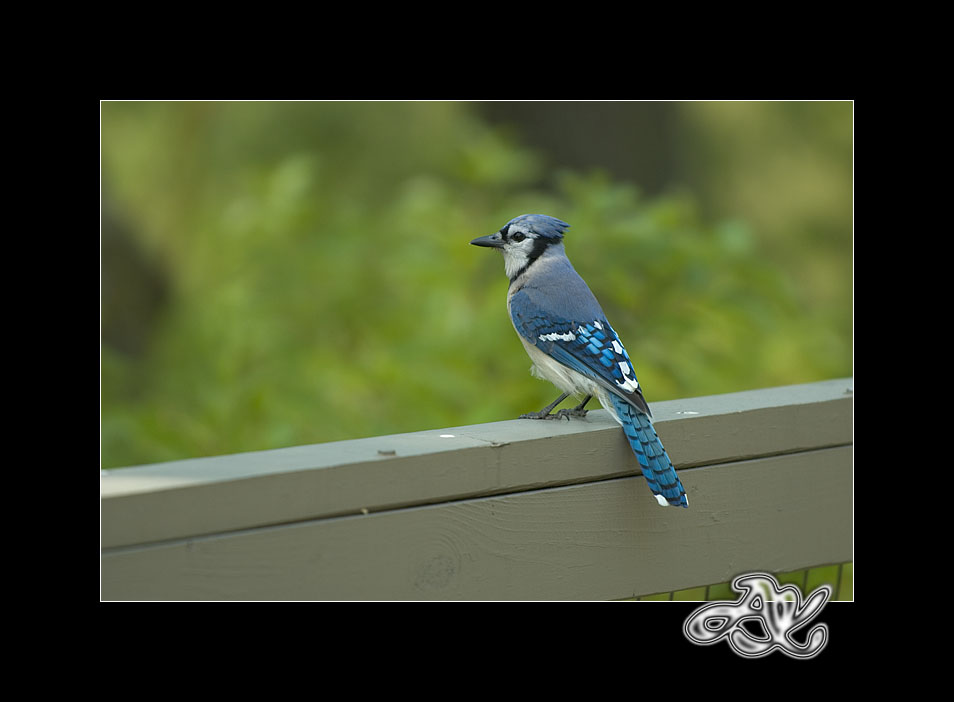 At the Zoo : Blue Jay