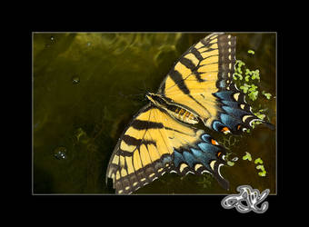 At the Zoo: Swallowtail by minainerz