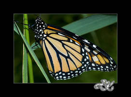 At the Zoo: Monarch by minainerz