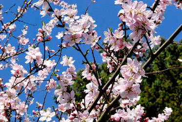 almond blossom_2 by jasiemausie