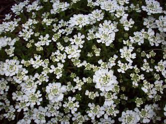 Spring Flowers 15