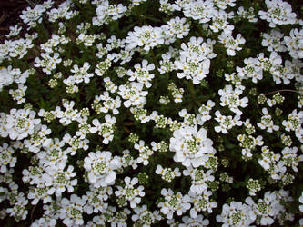Spring Flowers 15 by TexelGirl-Stock