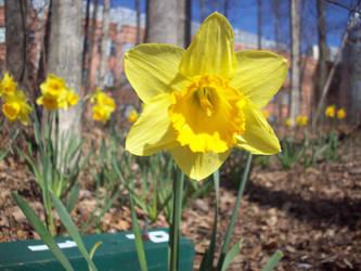 Daffodil 16 by TexelGirl-Stock