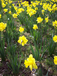 Daffodil 17 by TexelGirl-Stock