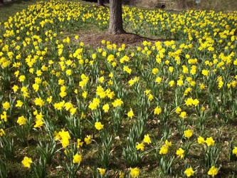 Daffodil 18 by TexelGirl-Stock