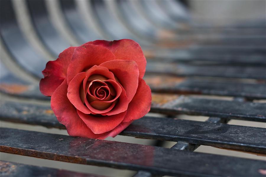 Autumn Rose by Gilraen-Taralom