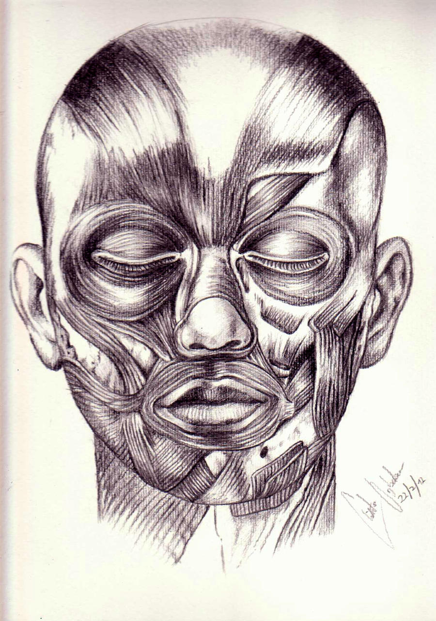 Sketch of the human facial anatomy by GuardianOfEvermore on DeviantArt