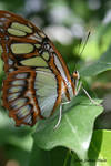 Little Brown Butterfly