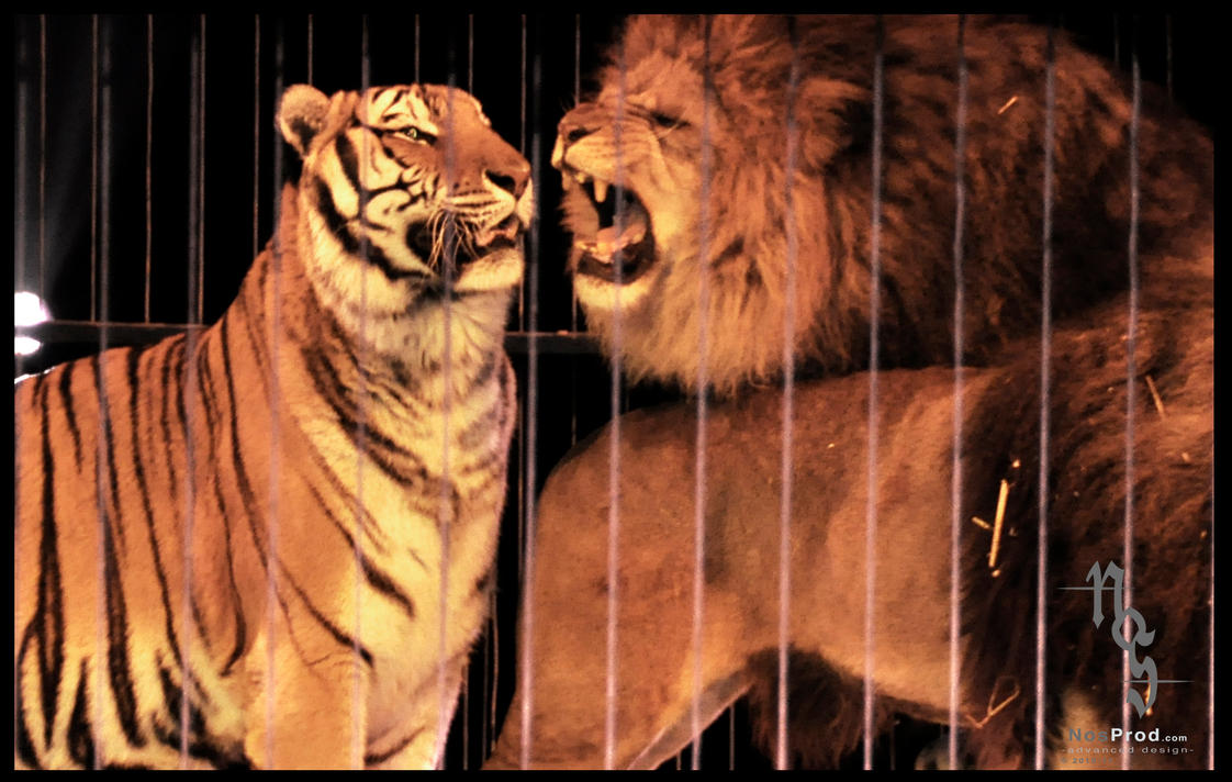 Lions and tigers fighting