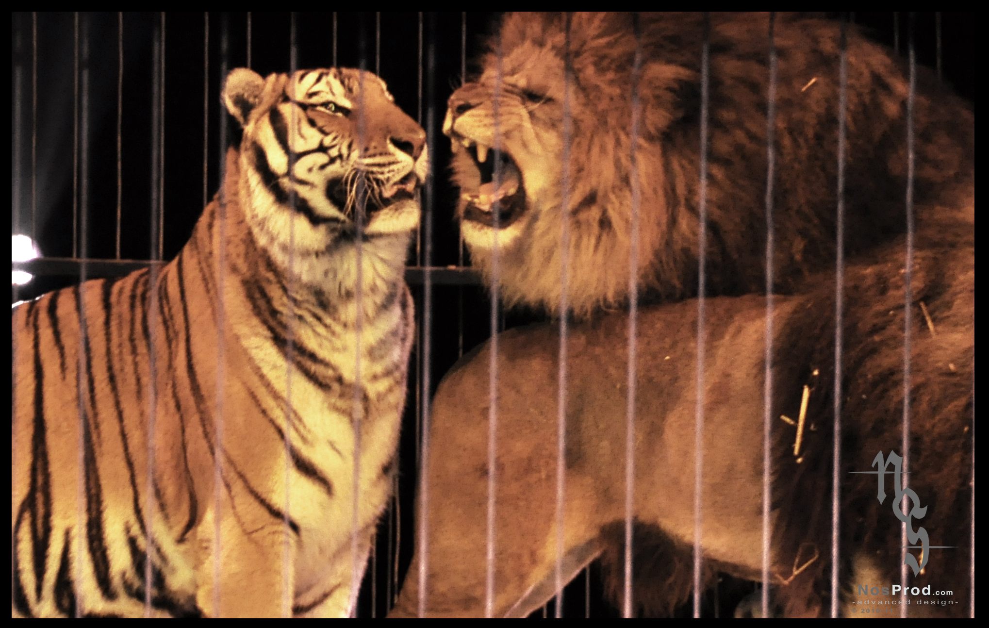 Comparative pictures of Tigers and Lions in Lion vs Tiger ...