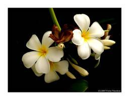 Bunga Kamboja 4