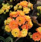 Magma flowers