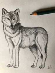 Sketch Wolf by Femke92