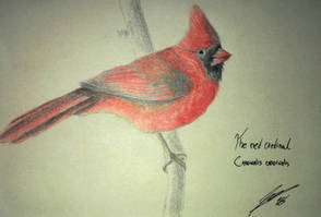 The Red Cardinal by Evoblast99
