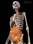 Glossy skeleton-Xray organs