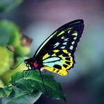 Fluorescent Birdwing by McKenzie-James