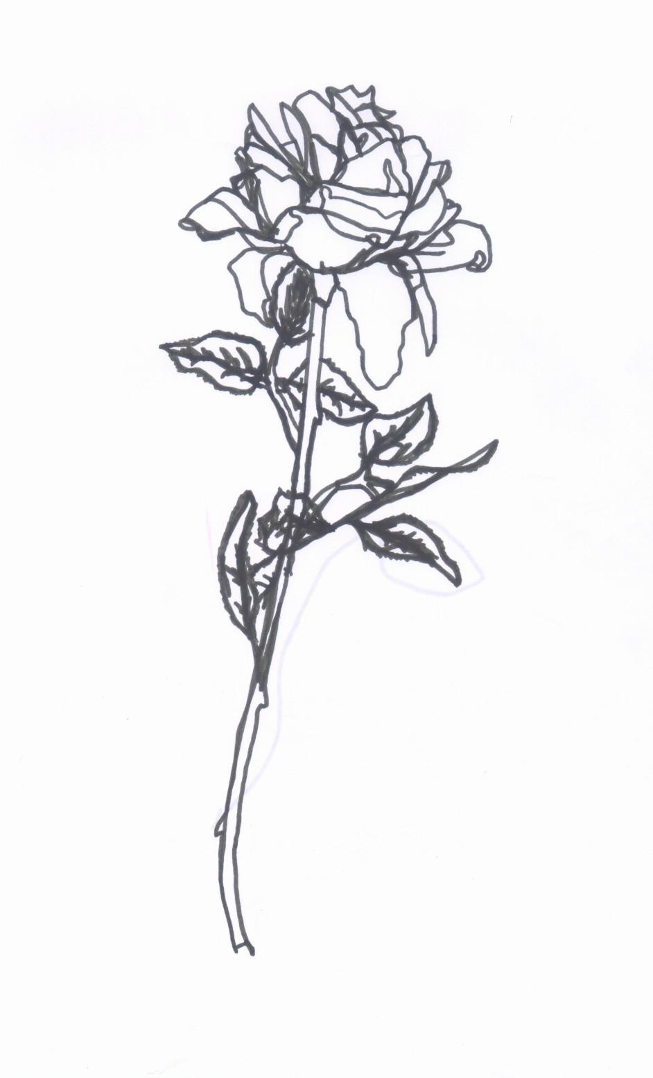 Contour Line Drawing Of A Flower : Rose contour drawing by sorsimmanis on deviantart