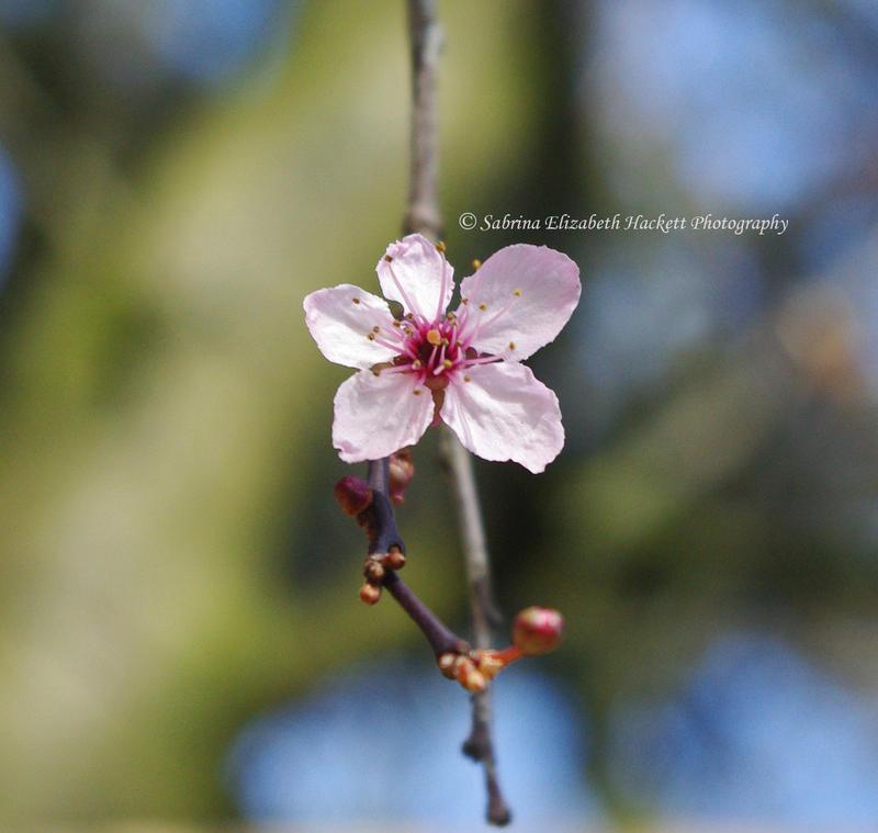 Straight Sakura by Hitomii