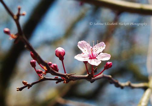 Sakura the Cherry Rose
