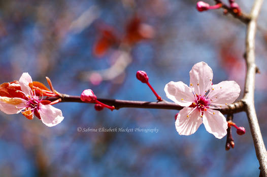 Cherry Blossom Cycle