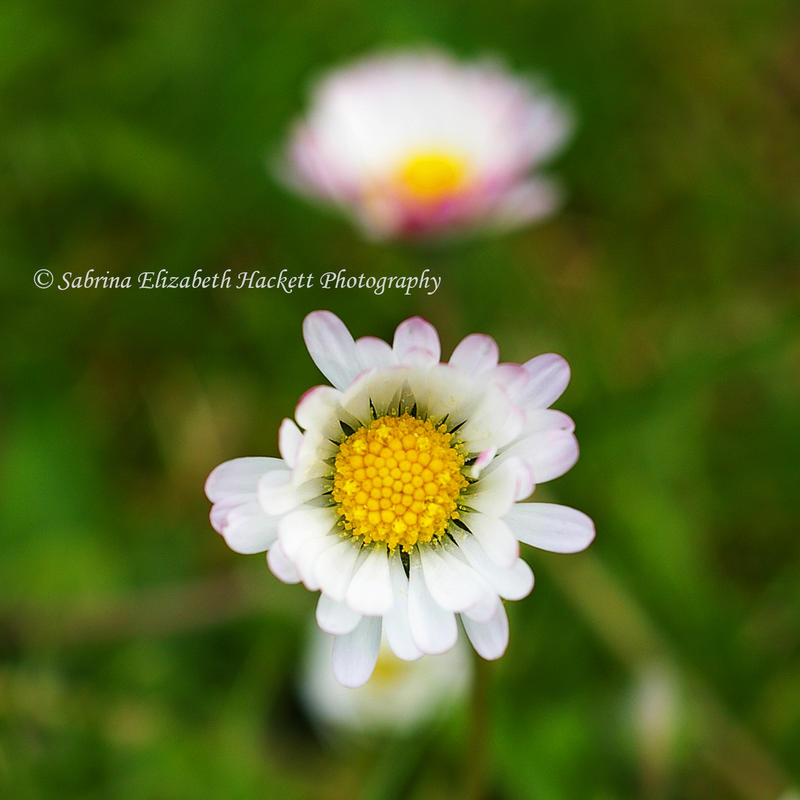 Once Upon A Daisy by Hitomii