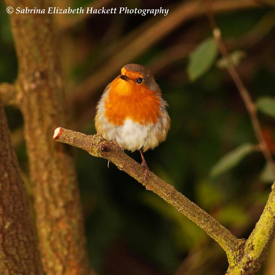 Little Robin by Hitomii