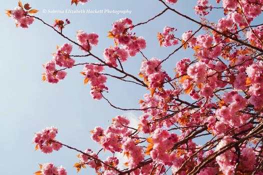 Cherry Cherry Blossom Blossom