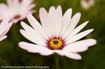 Osteospermum Beauty