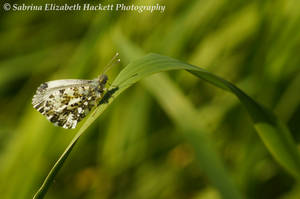 Green Veined White Butterfly II by Hitomii