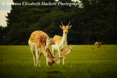 Deer Image Two