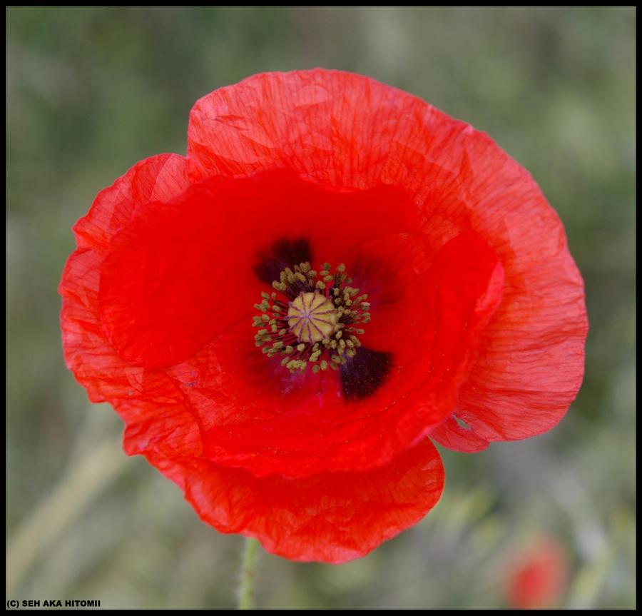 wild poppy flowers on - photo #10
