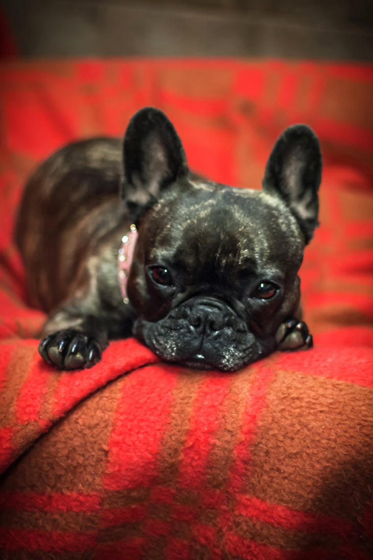 Black frenchie on red flannel by 6v4MP1r36