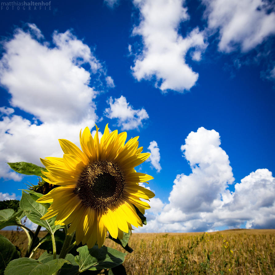Sunflower by MatthiasHaltenhof