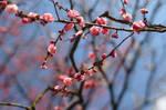 plum blossom by kuroihikari