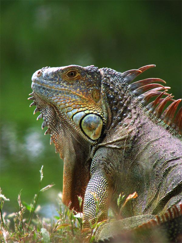 Iguana by mjdaluz