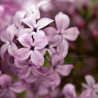 Lilac by head-in-the-cloud