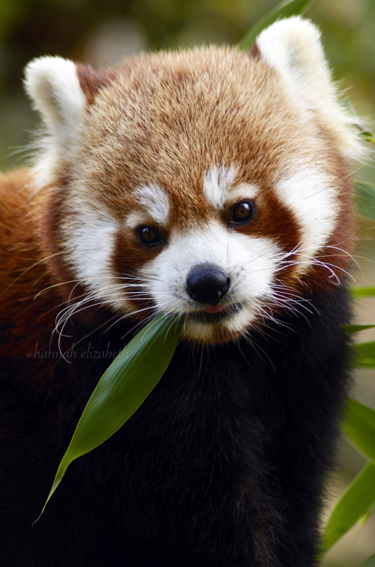 Red Panda by h-e-photography