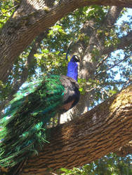 Peacock V.3 by Forsaken-Evil-Child