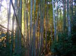 Sunny Bamboo