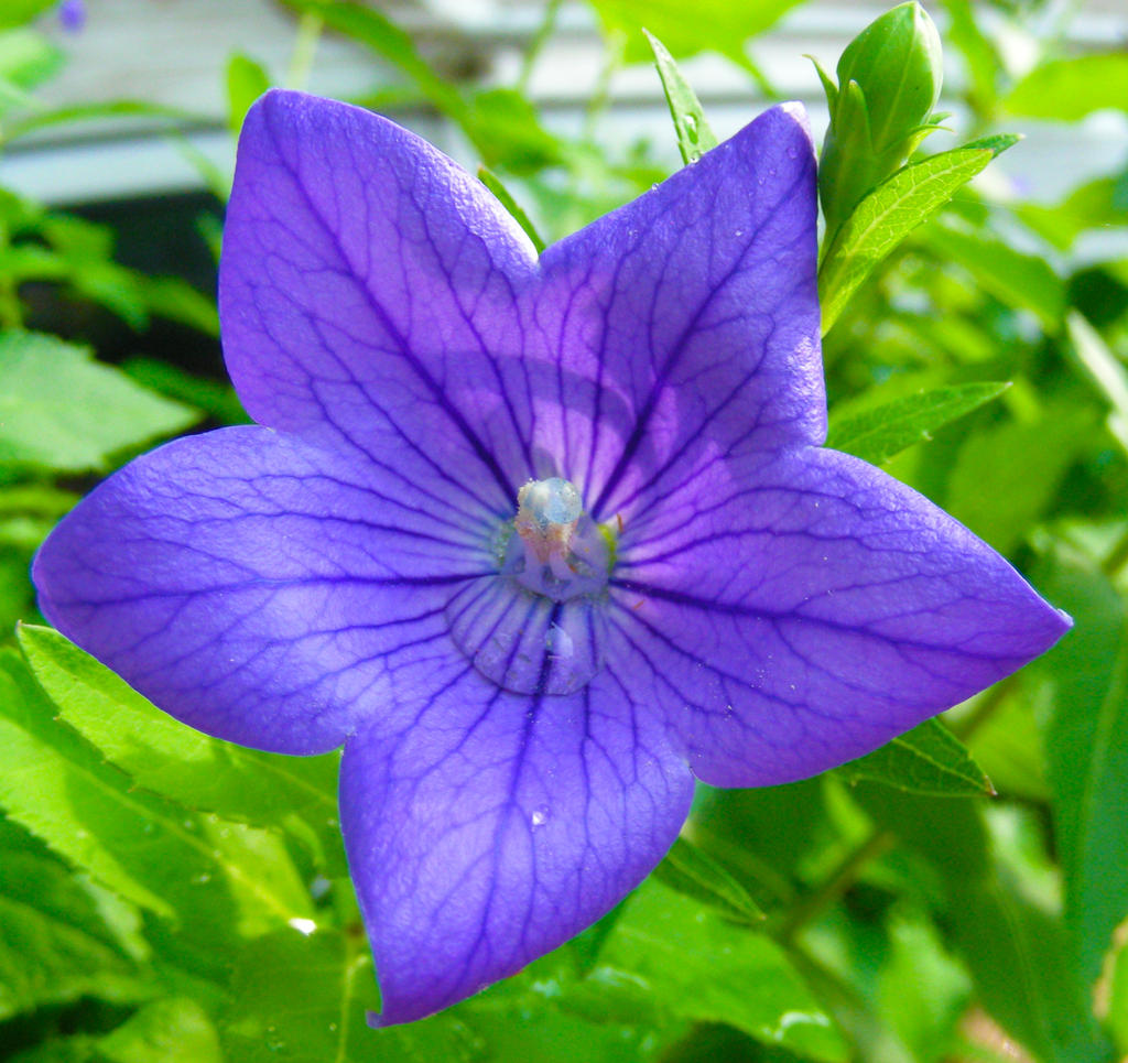 Purple Star Flower by ticklemeim on DeviantArt