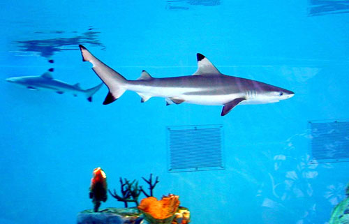 White Tip Reef Shark Drawing Black Tip Reef Shark Aquarium